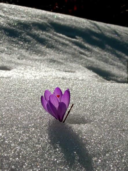 il croco nella neve